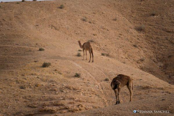 Due dromedari nel deserto