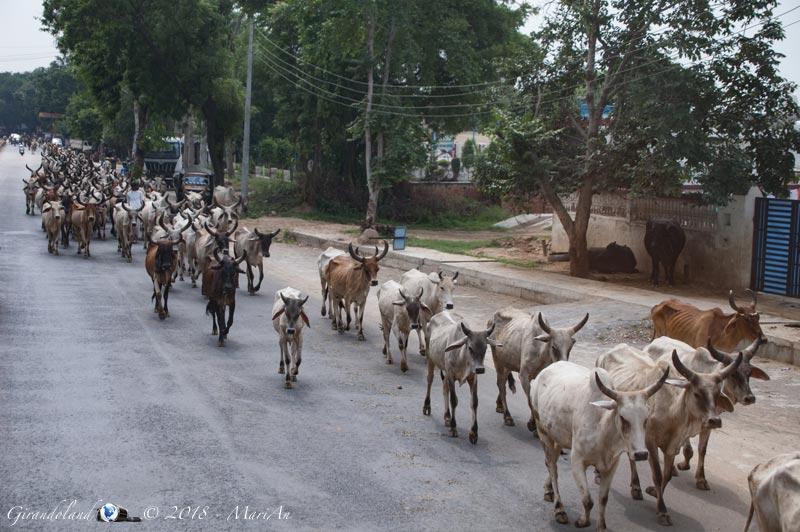 Agra - buoi in strada